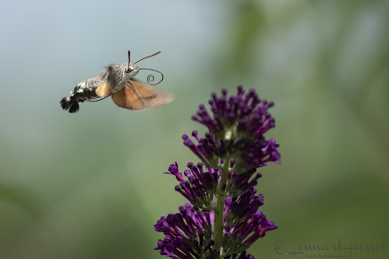Hummingbird Hawk-moth Hungary Bee-eater Bonanza