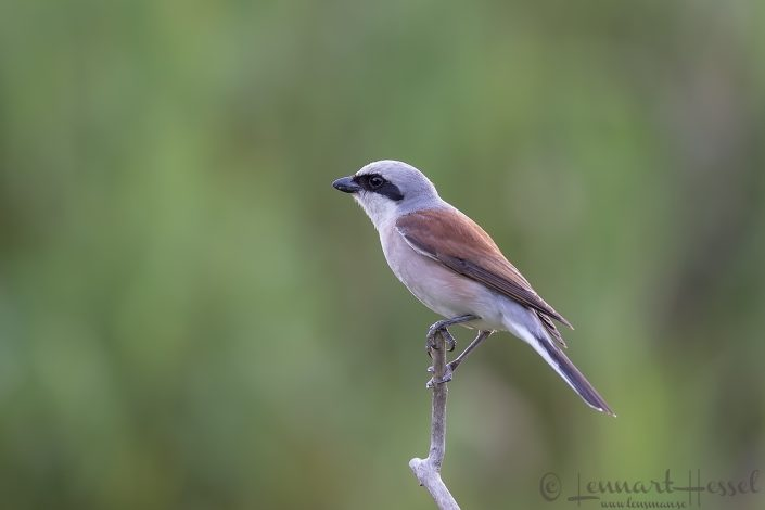 Red-backed shrike Hungary Bee-eater Bonanza 2018