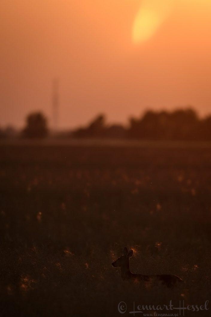 Roedeer Hungary Bee-eater Bonanza 2018