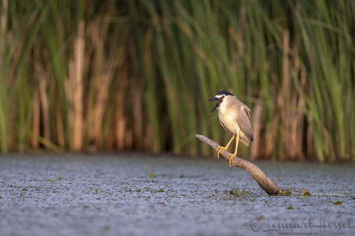 Black-crowned Night Heron Hungary Bee-eater Bonanza 2018