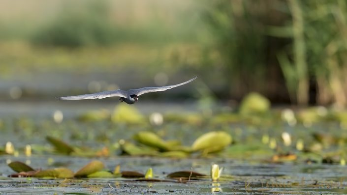 Whiskered Tern Hungary Bee-eater Bonanza 2018