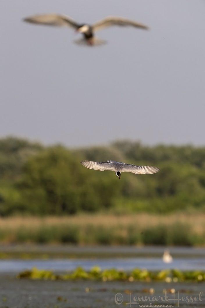 Whiskered terns Hungary Bee-eater Bonanza 2018