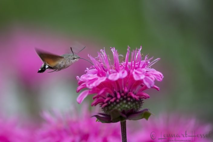 Hummingbird Hawk-moth Hungary Bee-eater Bonanza 2018