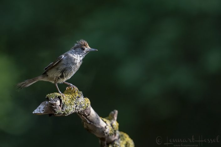 Blackcap Hungary Bee-eater Bonanza 2018