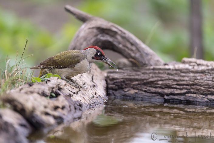 Green Woodpecker Hungary Bee-eater Bonanza 2018