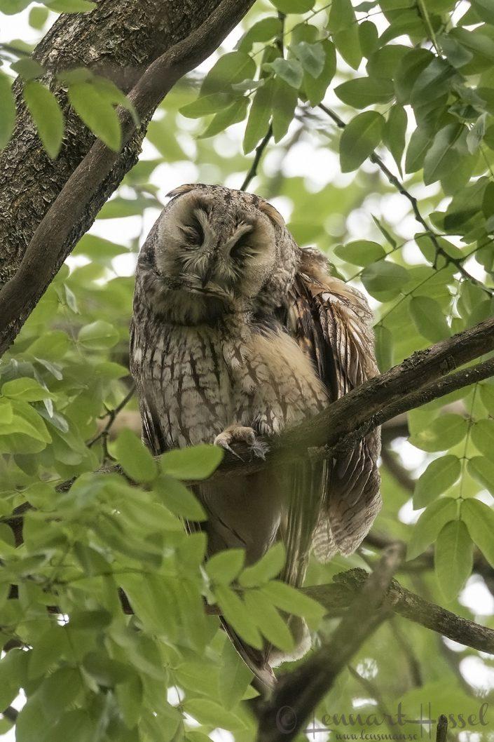 Long-eared Owl Hungary Bee-eater Bonanza 2018