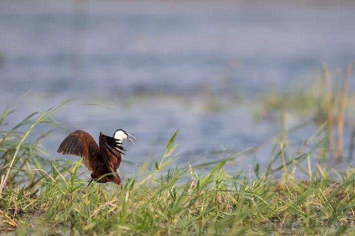African Jacan Zambezi river Zambia Zimbabwe