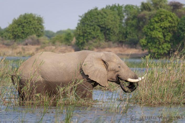Elephant Zambezi river Zambia Zimbabwe