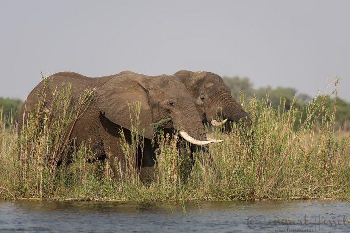Elephants Zambezi river Zambia Zimbabwe