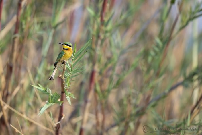 Little Bee-eater Zambezi river Zambia Zimbabwe