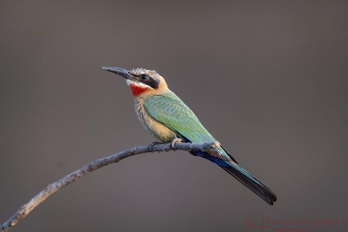 White-fronted Bee-eater Zambezi river Zambia Zimbabwe