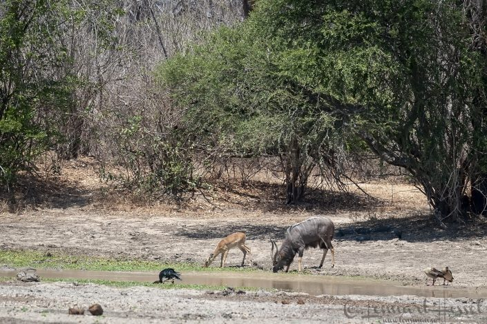 Male Nyala and Impala Mana Pools National Park