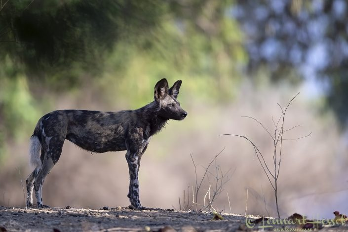 Painted Dog, or Painted Wolf, Mana Pools National Park