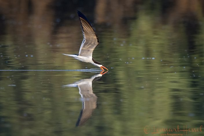 African Skimmer Mana Pools National Park