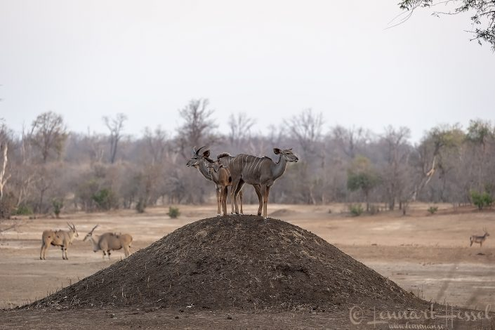 Kudu family, Eland and Waterbuck Mana Pools National Park