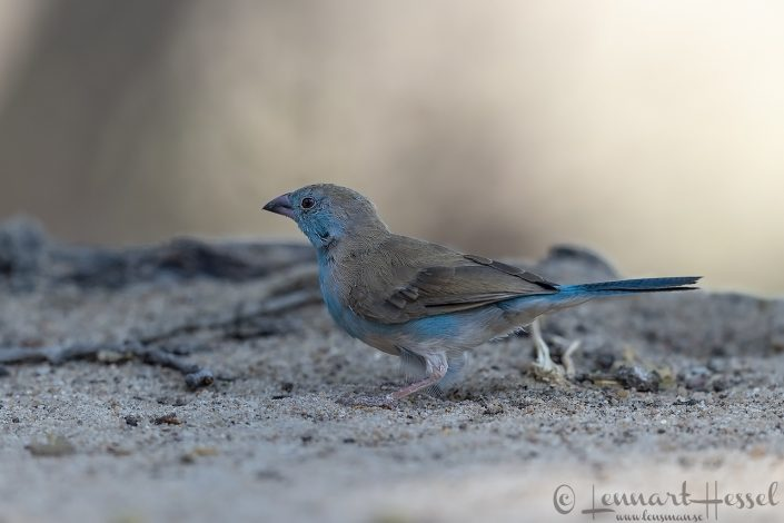 Blue Waxbill Mana Pools National Park