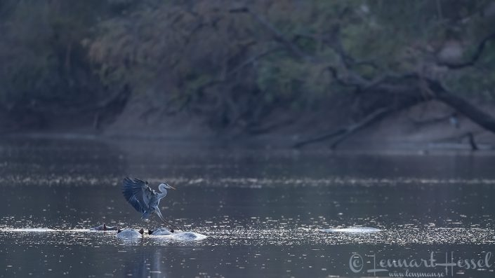 Grey Heron landing on Hippo Mana Pools National Park