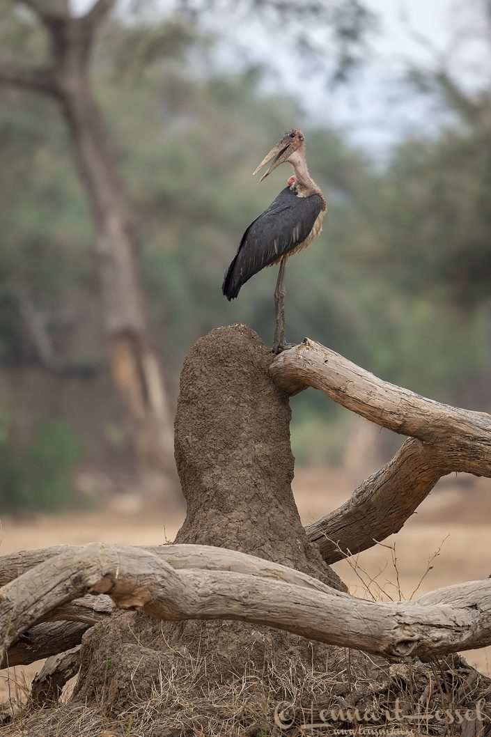 Marabou Stork Mana Pools National Park