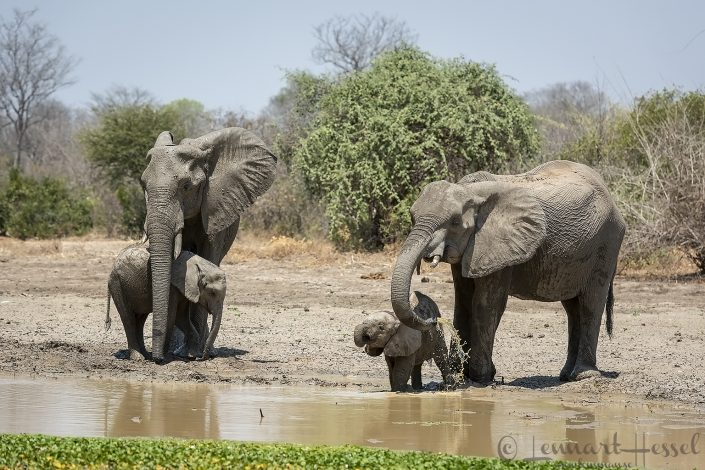 African Elephant families drinking Mana Pools National Park