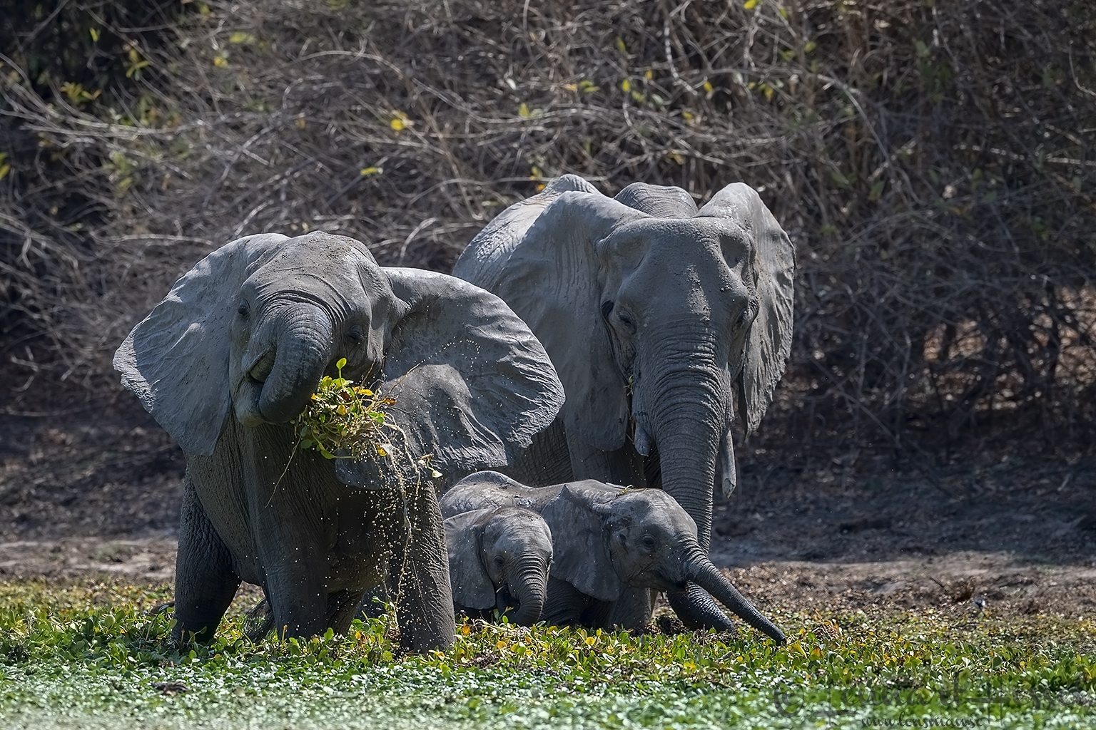 African Elephant familes eating Mana Pools National Park