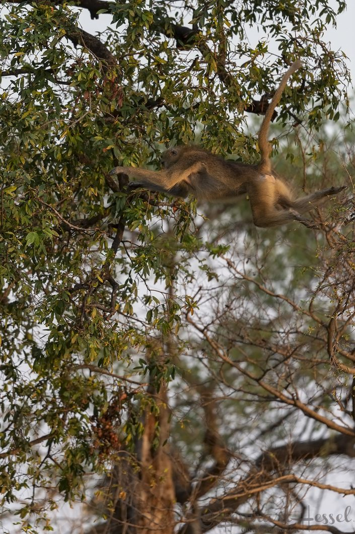 Chacma Baboon jump Mana Pools National Park