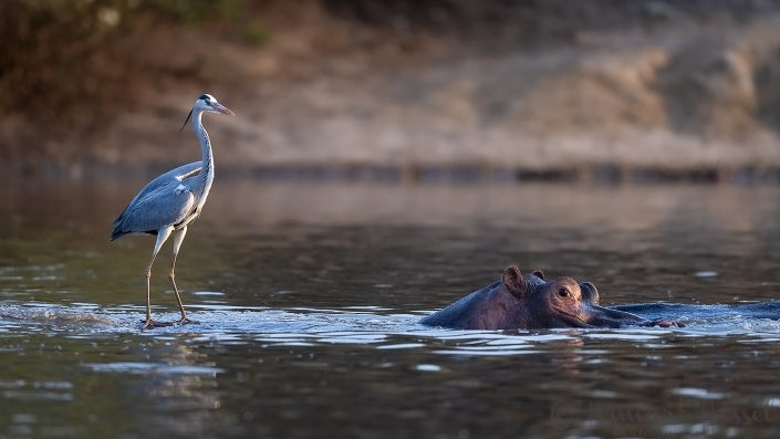 Hippo and Grey Heron Mana Pools National Park