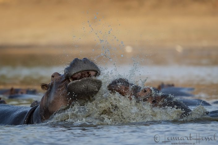 Hippo clash Mana Pools National Park