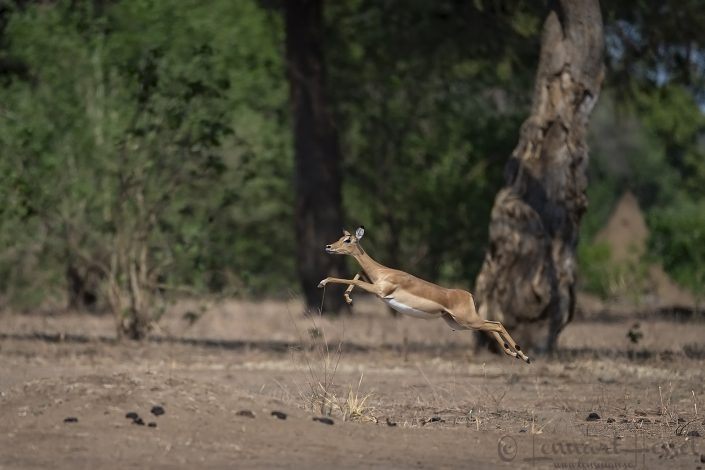 Impala leap Mana Pools National Park