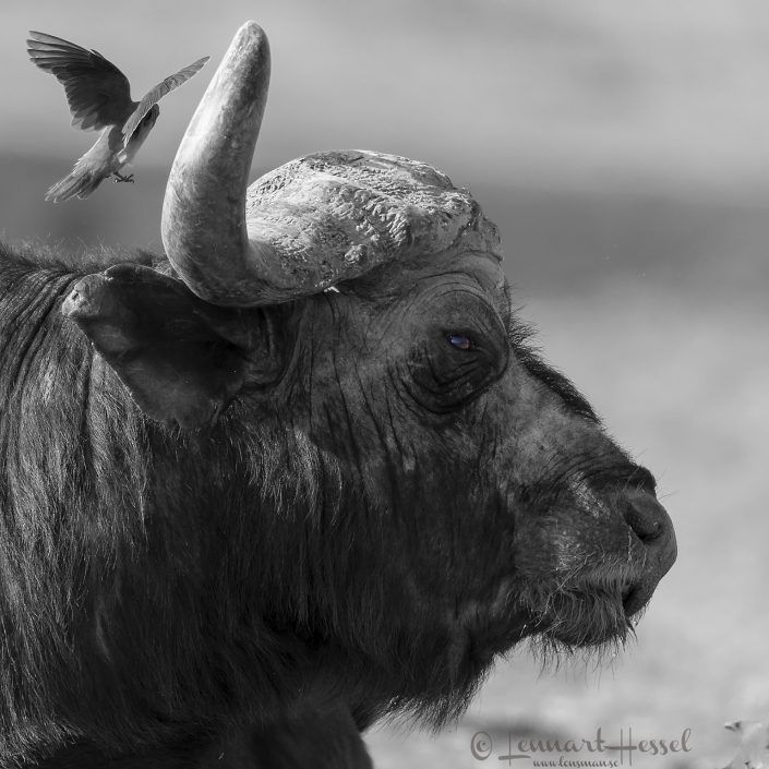 The Boss Cape Buffalo Mana Pools National Park