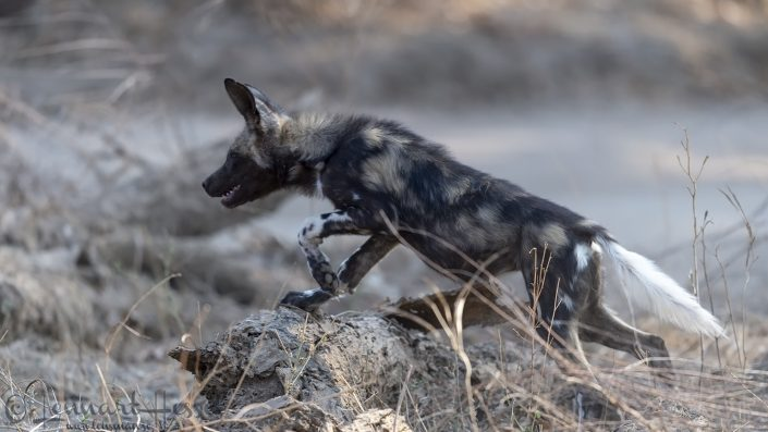 Painted Dog, or Painted Wolf, pup Mana Pools National Park