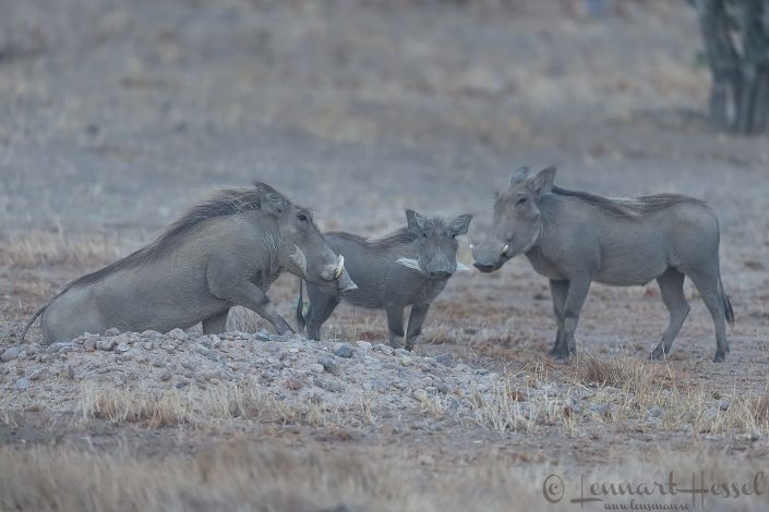 Warthog family Mana Pools National Park