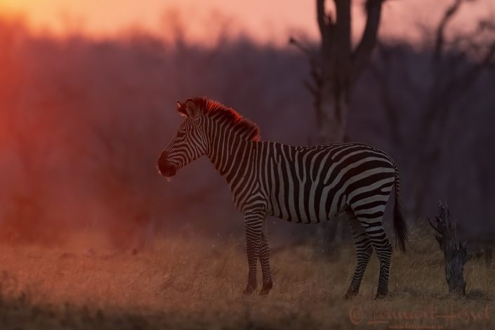 Zebra Mana Pools National Park