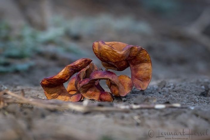 Albida seed pod Mana Pools National Park