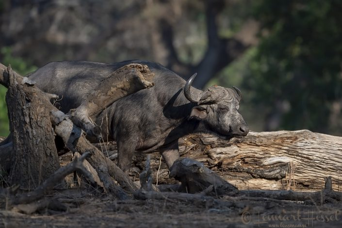 Walking Cape Buffalo Mana Pools National Park