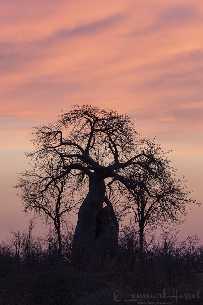 Baobab at sunset Mana Pools National Park
