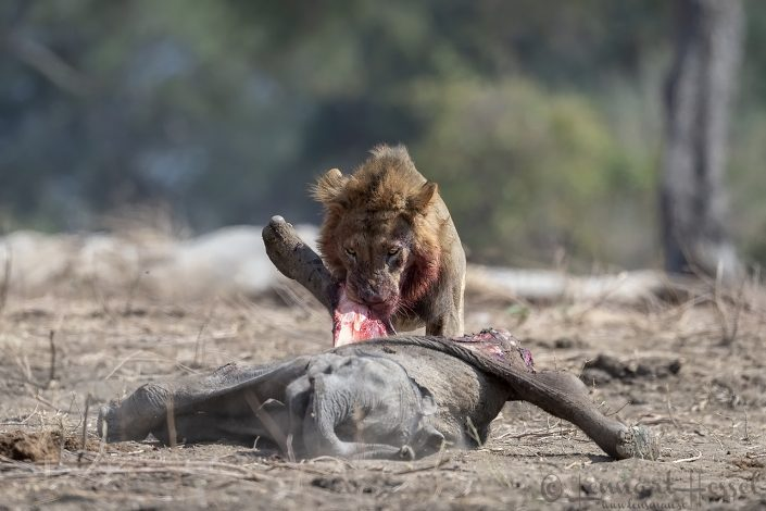 Male Lion eating Mana Pools National Park