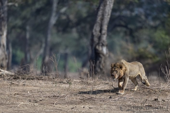 Male Lion with intention Mana Pools National Park
