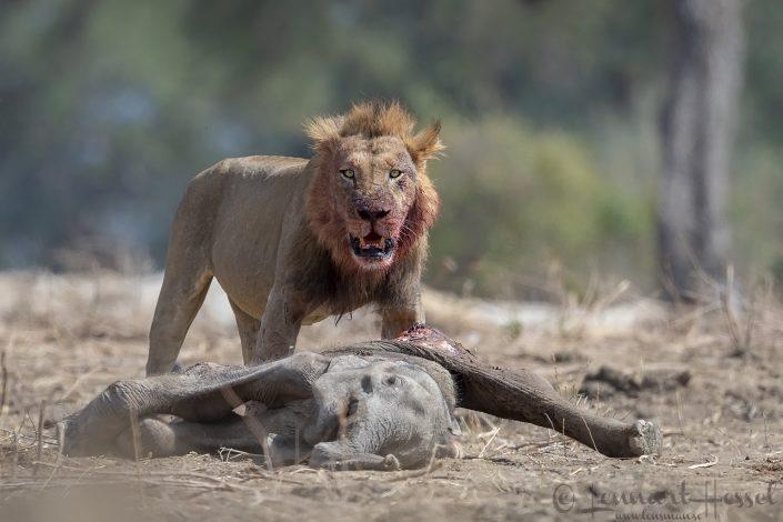 Male Lion at elephant kill Mana Pools National Park