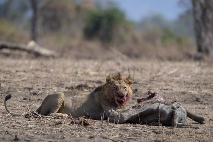 Male Lion at kill licking nose Mana Pools National Park