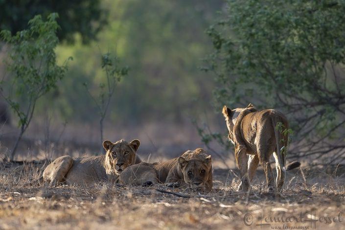 Lion pride Mana Pools National Park
