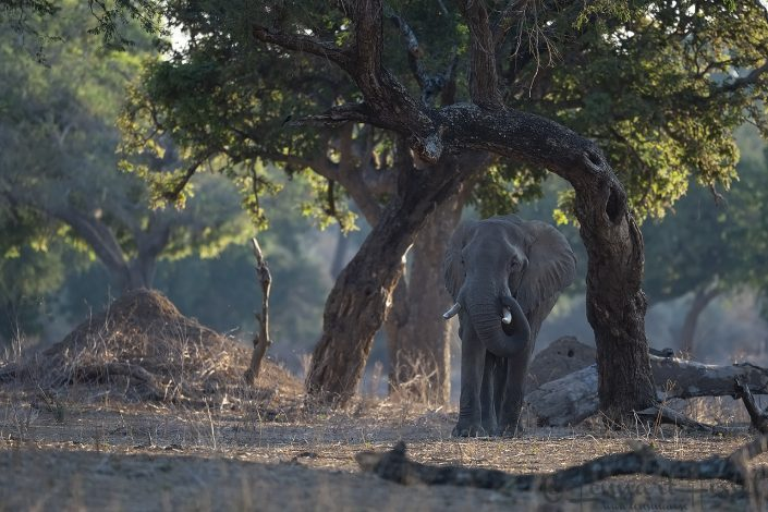 Efrican Elephant in the forest Mana Pools National Park