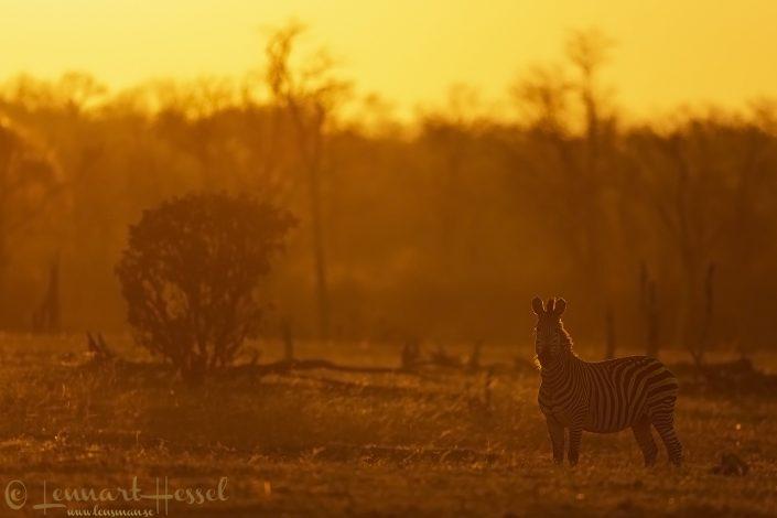 Zebra Mana Pools National Park