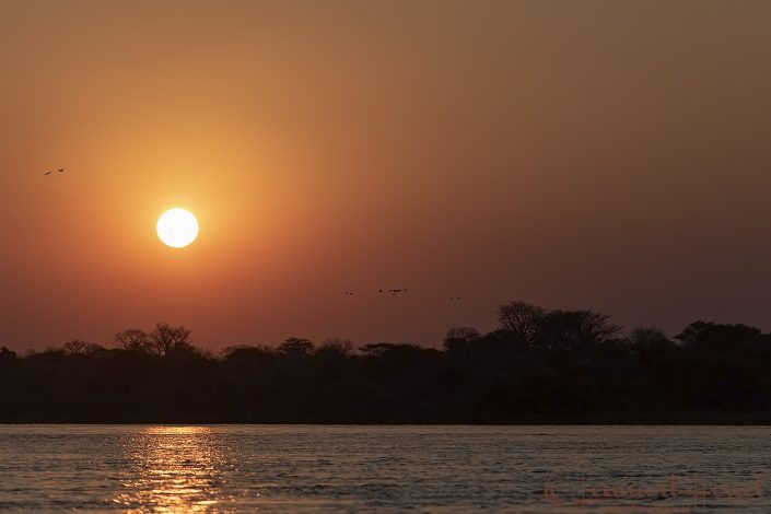 Egyptian Geese at sunset Kafe river Zambezi Zambia Zimbabwe