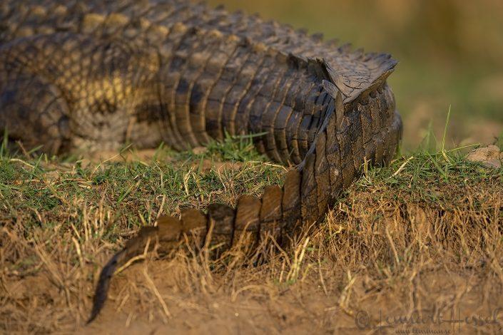 Nile Crocodile Zambezi river Zambia Zimbabwe