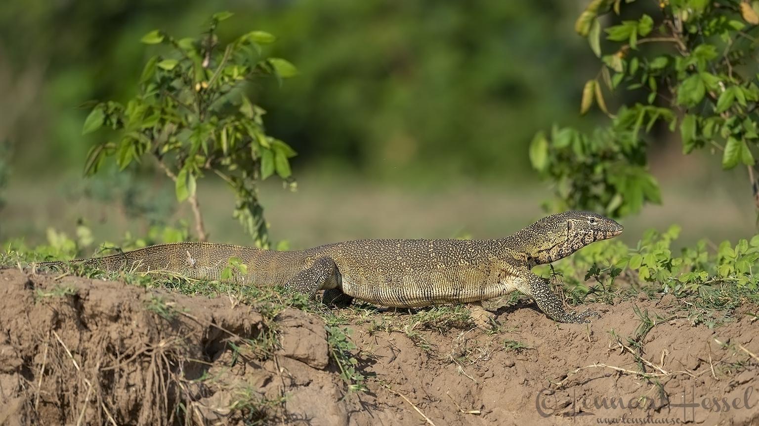 Nile Monitor Zambezi river Zambia Zimbabwe