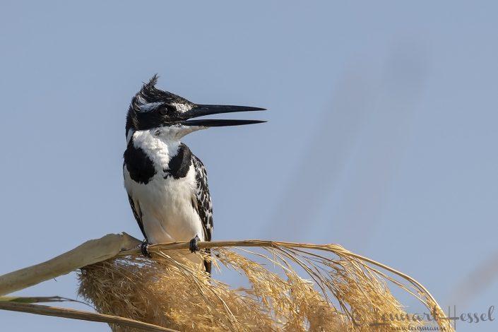 Pied Kingfisher Zambezi river Zambia Zimbabwe