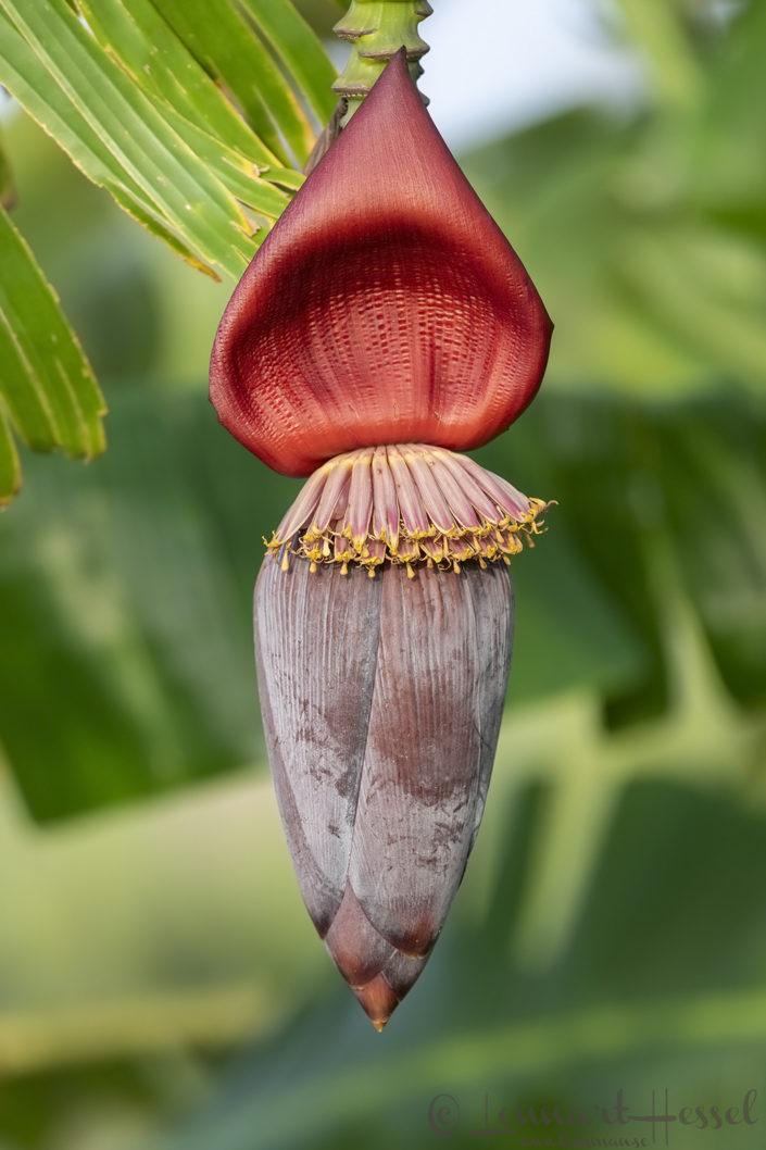 Banana plant N'Djamena Chad