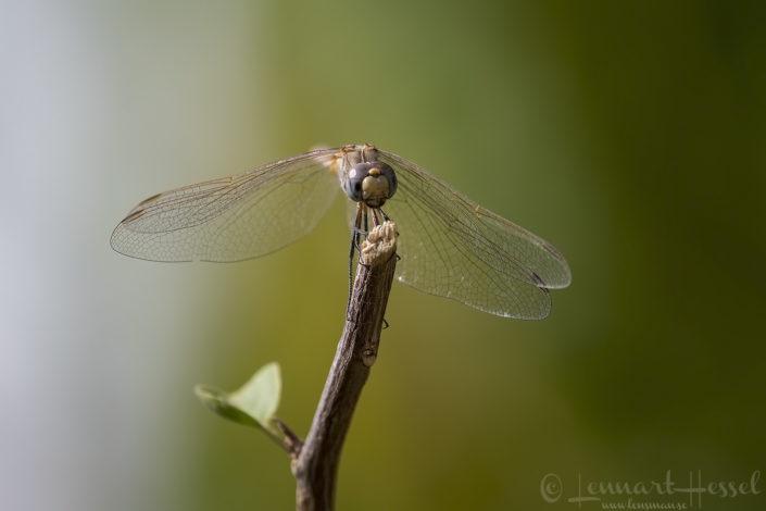 Dragonfly N'Djamena Chad