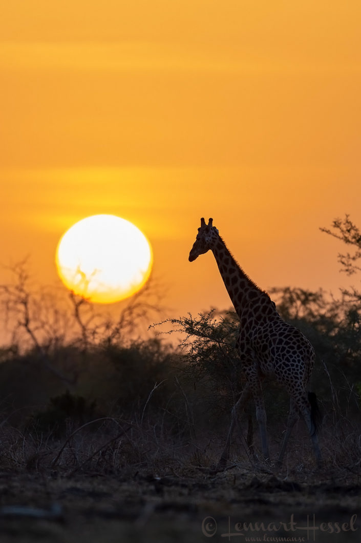 Kordofan Giraffe at sunset Zakouma National Park Chad Salamat