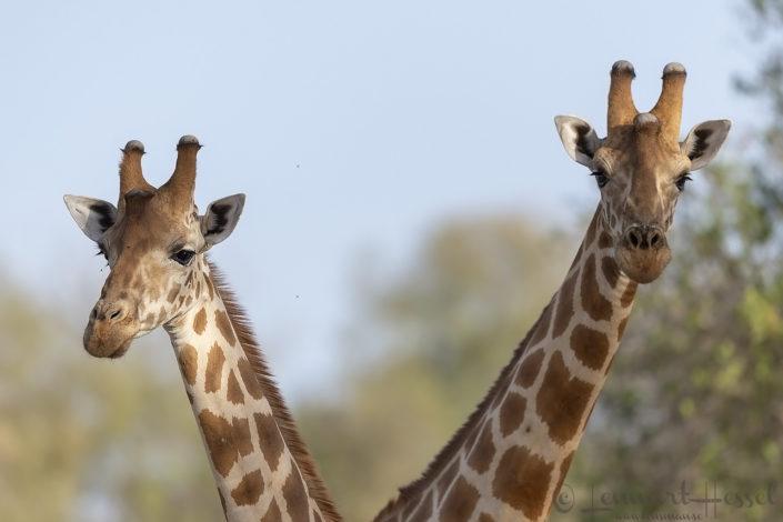 Kordofan Giraffes Zakouma National Park Chad Salamat